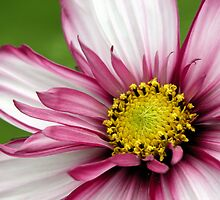 Pink and White Daisy by quirkydame