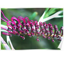 Grevillea Burgundy Beauty Poster