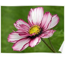 White and Pink Daisy Poster