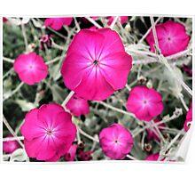 Magenta Blooms Poster