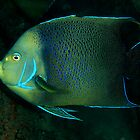 Blue Angelfish, Pomacanthus semicirculatus by Deb Aston