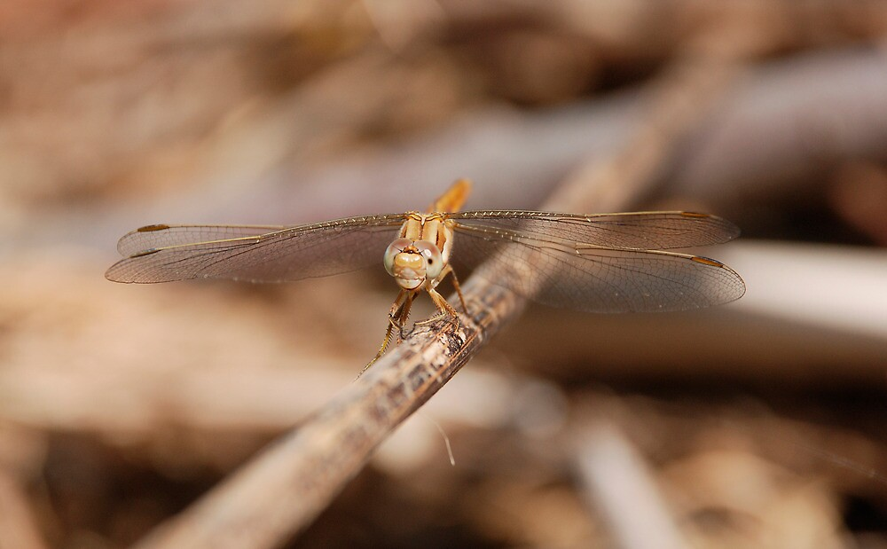 Brown Dragonfly on a Twig  by jojobob