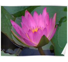Water Lilies V Poster