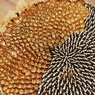 Partially De-Seeded Sunflower Head  by jojobob