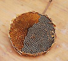 Partially Deseeded Sunflower Head by jojobob