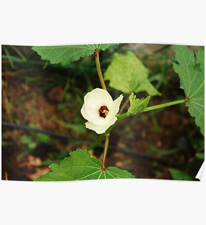 Flower on Okra Plant  Poster