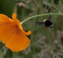 Bumble Bee #1 by don thomas