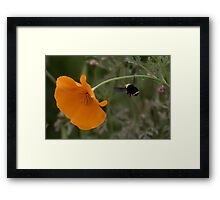 Bumble Bee #1 Framed Print