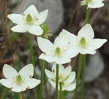 Grass-of-Parnassus - Parnassia glauca. by Tracy Faught