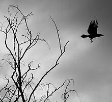 Wattle Bird in Flight by Kristy-Lee