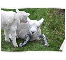 Poor little injured Lamb Poster