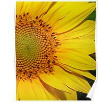 Sunflower in full bloom Poster