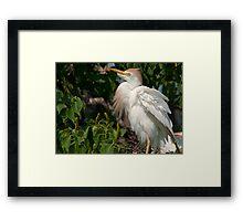 Mother Cattle Egret Framed Print