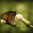 Monarch Butterfly by KatsEyePhoto