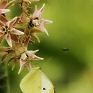 Common White Butterfly on Milkweed by KatsEyePhoto