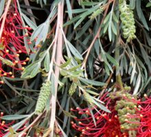 Weeping Grevillea - Ruby Red Sticker
