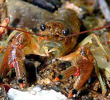 Crayfish by Marcia Rubin