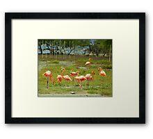 Flamingo's on Bonaire.... Framed Print