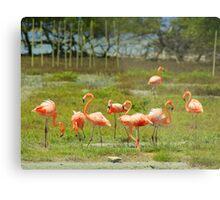 Flamingo's on Bonaire.... Metal Print