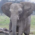 A Young Elephant Showing Character - Knowsley Safari Park, UK by Michaela1991