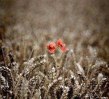 Poppy by Mike Higgins