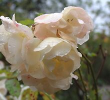 Rain droplets on roses by rualexa