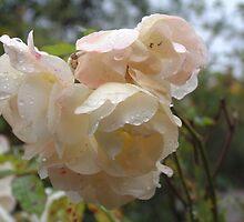 Rain droplets on roses by rualexa