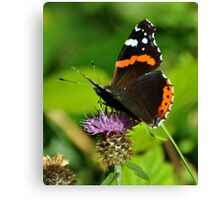 Red admiral . Canvas Print