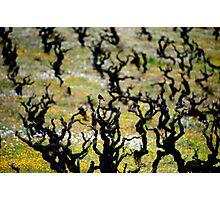Redstart, Vineyard Photographic Print