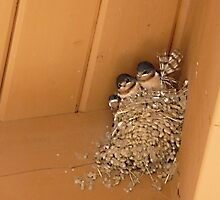 Three Little Swallows © by jansnow
