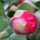 Camelia japonica by Elizabeth Kendall