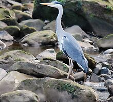 Heron at Egton Bridge by dougie1page2