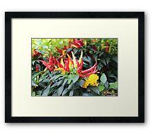 Red chili pepper  Framed Print