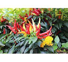 Red chili pepper  Photographic Print