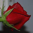 A Rose is a Rose by ELIZABETH B