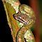 Viper - Family - Viperidae - (Amphibians & Reptiles Category)