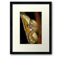 Eyelash Viper (Bothriechis schlegelii) -  Costa Rica Framed Print