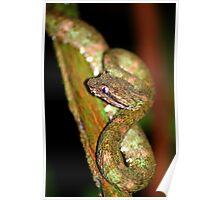 Eyelash Viper (Bothriechis schlegelii) -  Costa Rica Poster