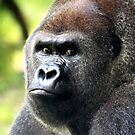 This is my Best Side!!   Gorilla by Missy Yoder