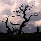 The Burmis Tree, Alberta by Vickie Emms