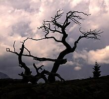 The Burmis Tree, Alberta by Vickie Emms