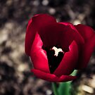 Red Tulip in the Botanical Gardens by Nicole Wells