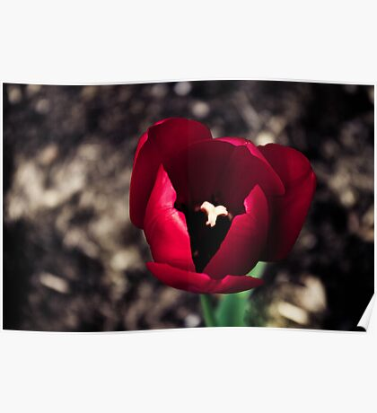 Red Tulip in the Botanical Gardens Poster