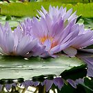 Water Lily Reflections by Patty Boyte