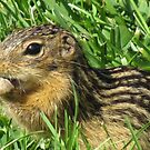 Minnesota Gopher by shutterbug2010