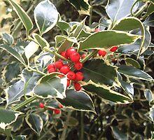 Holly berries by rualexa
