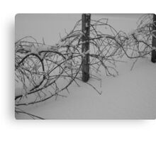 Desolate Grape Vines Canvas Print