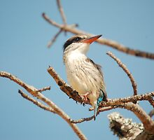 Striped Kingfisher by Melissa  Whitby