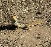 Our friendly wildlife. A Bearded Dragon! at 'Arilka', Mt. Pleasant. S.Aust. by Rita Blom