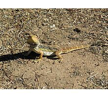 Our friendly wildlife. A Bearded Dragon! at 'Arilka', Mt. Pleasant. S.Aust. Photographic Print